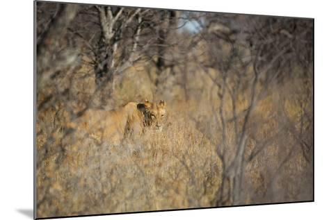 A Lioness, Panthera Leo, Walking Through Tall Grass under Trees at Sunrise-Alex Saberi-Mounted Photographic Print