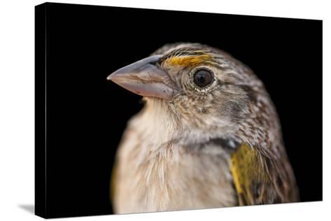 A Florida Grasshopper Sparrow, Ammodramus Savannarum Floridanus-Joel Sartore-Stretched Canvas Print