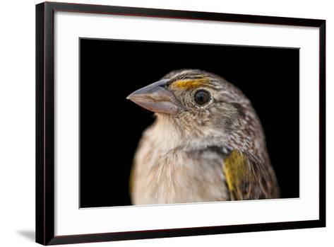 A Florida Grasshopper Sparrow, Ammodramus Savannarum Floridanus-Joel Sartore-Framed Art Print