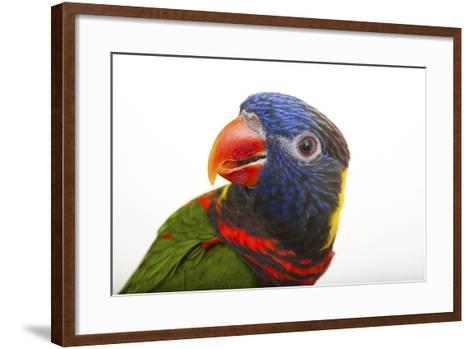 Coconut Lorikeets, Trichoglossus haematodus haematodus-Joel Sartore-Framed Art Print