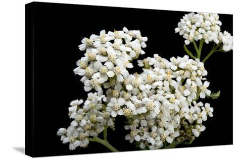 An Achillea Flower, Achillea Millefolium, known as the Common Yarrow-Joel Sartore-Stretched Canvas Print