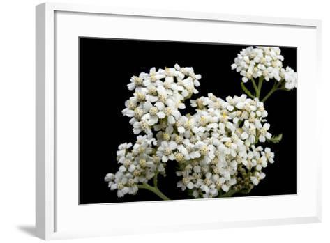An Achillea Flower, Achillea Millefolium, known as the Common Yarrow-Joel Sartore-Framed Art Print