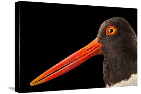An American Oystercatcher, Haematopus Palliatus, in Seaside Park, New Jersey-Joel Sartore-Stretched Canvas Print