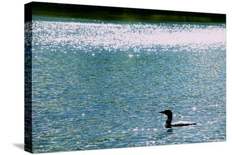 A Common Loon, Gavia Immer, Swimming in a Lake Shimmering with Reflections of Sunlight-Heather Perry-Stretched Canvas Print