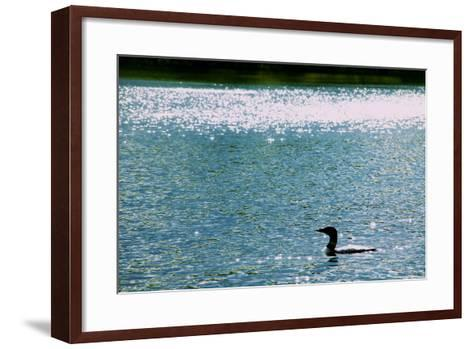 A Common Loon, Gavia Immer, Swimming in a Lake Shimmering with Reflections of Sunlight-Heather Perry-Framed Art Print