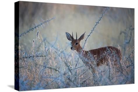 A Steenbok, Raphicerus Campestris, Stands Next to a Spiny Acacia Bush-Alex Saberi-Stretched Canvas Print