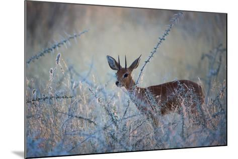 A Steenbok, Raphicerus Campestris, Stands Next to a Spiny Acacia Bush-Alex Saberi-Mounted Photographic Print