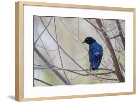 A Cape Glossy Starling, Lamprotornis Nitens, Rests on a Branch in Etosha National Park-Alex Saberi-Framed Art Print