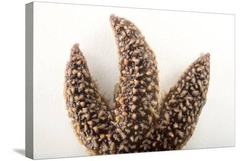 A Forbes Sea Star, Asterias Forbesi, in Seaside Park, New Jersey-Joel Sartore-Stretched Canvas Print