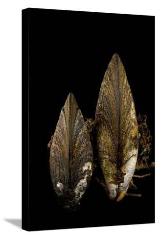 Ribbed Mussels, Modiolus Demissus, in Seaside Park, New Jersey-Joel Sartore-Stretched Canvas Print