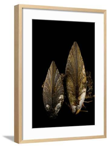 Ribbed Mussels, Modiolus Demissus, in Seaside Park, New Jersey-Joel Sartore-Framed Art Print