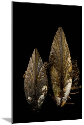 Ribbed Mussels, Modiolus Demissus, in Seaside Park, New Jersey-Joel Sartore-Mounted Photographic Print