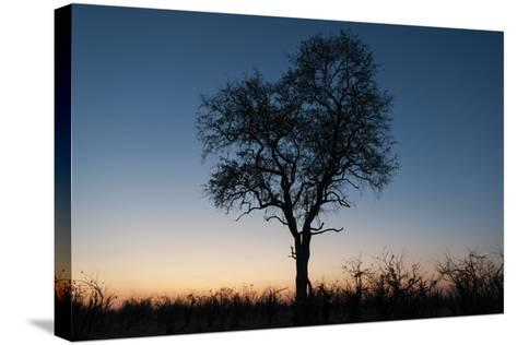 A Silhouetted Tree at Dusk in the Okavango Delta-Sergio Pitamitz-Stretched Canvas Print