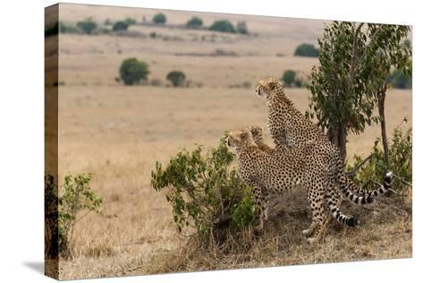 Three Cheetah Brothers, Acinonyx Jubatus, Surveying the Savanna-Sergio Pitamitz-Stretched Canvas Print
