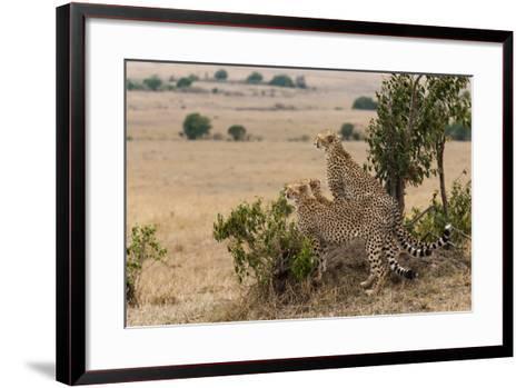 Three Cheetah Brothers, Acinonyx Jubatus, Surveying the Savanna-Sergio Pitamitz-Framed Art Print