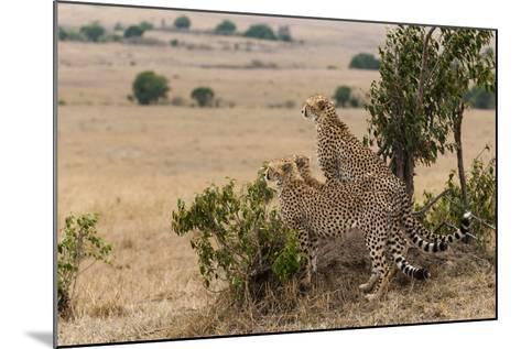 Three Cheetah Brothers, Acinonyx Jubatus, Surveying the Savanna-Sergio Pitamitz-Mounted Photographic Print