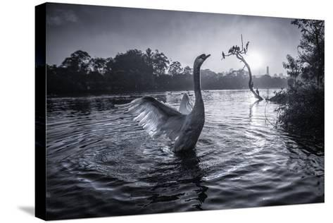 A Male Mute Swan in a Pond Stretches His Wings in Ibirapuera Park-Alex Saberi-Stretched Canvas Print