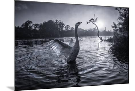 A Male Mute Swan in a Pond Stretches His Wings in Ibirapuera Park-Alex Saberi-Mounted Photographic Print
