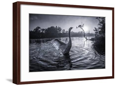 A Male Mute Swan in a Pond Stretches His Wings in Ibirapuera Park-Alex Saberi-Framed Art Print