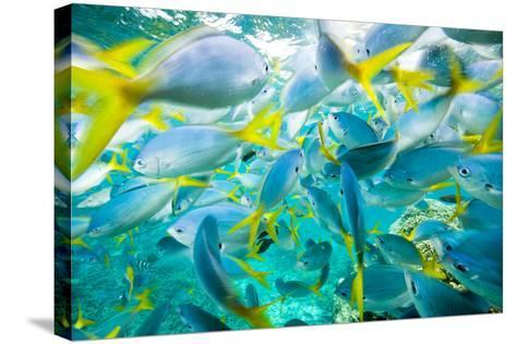 A Densely Packed School of Yellow Tailed Fusiliers-Michael Melford-Stretched Canvas Print