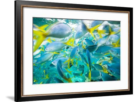 A Densely Packed School of Yellow Tailed Fusiliers-Michael Melford-Framed Art Print