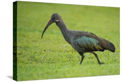 A Portrait of an Ibis Walking Through Grass-Michael Melford-Stretched Canvas Print