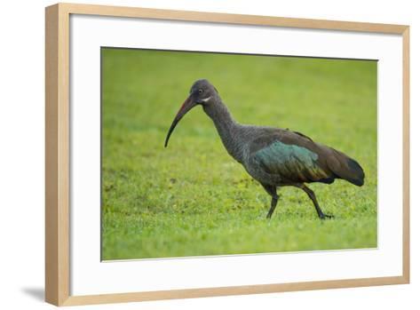 A Portrait of an Ibis Walking Through Grass-Michael Melford-Framed Art Print