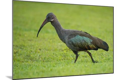 A Portrait of an Ibis Walking Through Grass-Michael Melford-Mounted Photographic Print