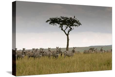 A Herd of Plains Zebras, Equus Quagga, Gathered Near an Acacia Tree-Sergio Pitamitz-Stretched Canvas Print