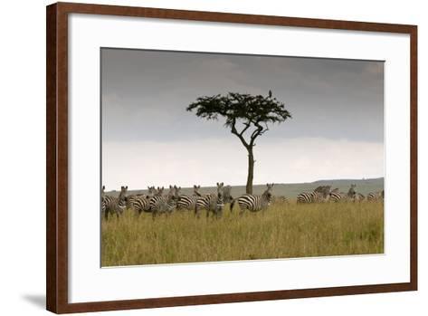 A Herd of Plains Zebras, Equus Quagga, Gathered Near an Acacia Tree-Sergio Pitamitz-Framed Art Print