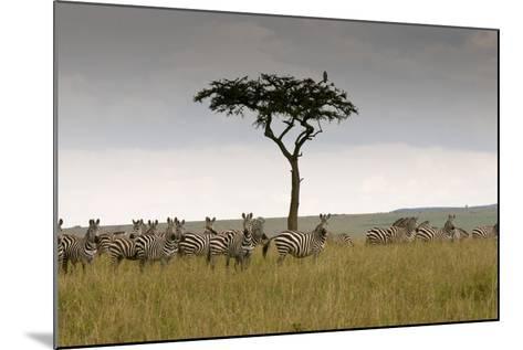 A Herd of Plains Zebras, Equus Quagga, Gathered Near an Acacia Tree-Sergio Pitamitz-Mounted Photographic Print