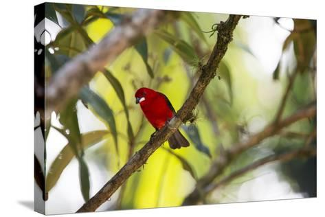 A Brazilian Tanager, Ramphocelus Bresilius, Perches in a Tree with a Tropical Backdrop-Alex Saberi-Stretched Canvas Print