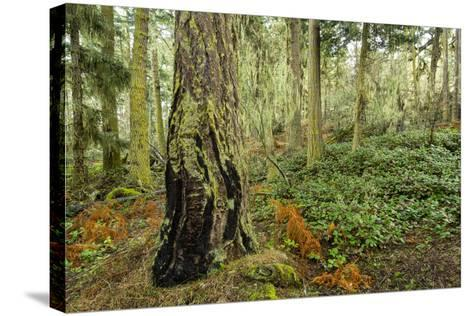 A Grove of Trees in the San Juan Islands-Michael Melford-Stretched Canvas Print
