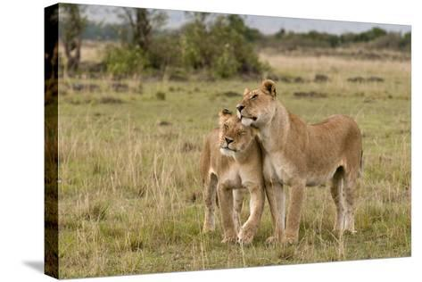 Two Lionesses, Panthera Leo, Greeting Each Other with Head Rubbing-Sergio Pitamitz-Stretched Canvas Print