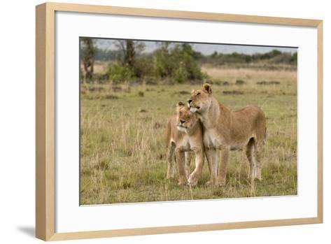 Two Lionesses, Panthera Leo, Greeting Each Other with Head Rubbing-Sergio Pitamitz-Framed Art Print