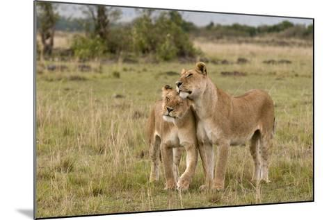 Two Lionesses, Panthera Leo, Greeting Each Other with Head Rubbing-Sergio Pitamitz-Mounted Photographic Print