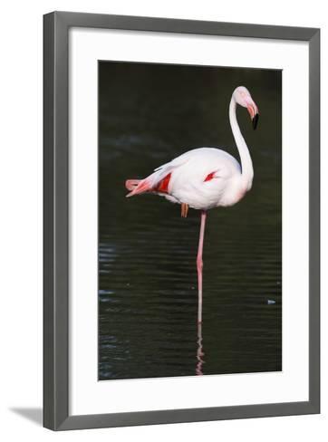 Portrait of a Greater Flamingo, Phoenicopterus Roseus, Resting on One Leg-Sergio Pitamitz-Framed Art Print