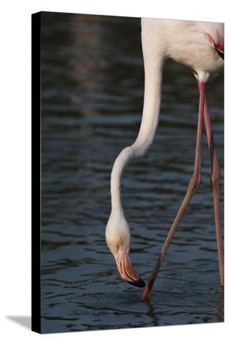Close Up Portrait of a Greater Flamingo, Phoenicopterus Roseus, Feeding-Sergio Pitamitz-Stretched Canvas Print