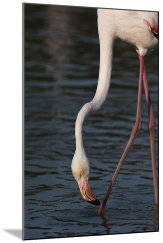 Close Up Portrait of a Greater Flamingo, Phoenicopterus Roseus, Feeding-Sergio Pitamitz-Mounted Photographic Print
