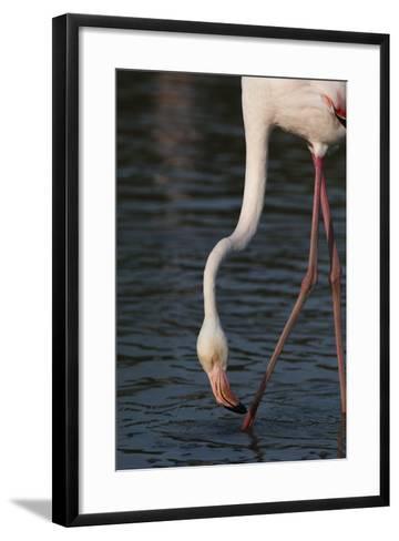 Close Up Portrait of a Greater Flamingo, Phoenicopterus Roseus, Feeding-Sergio Pitamitz-Framed Art Print