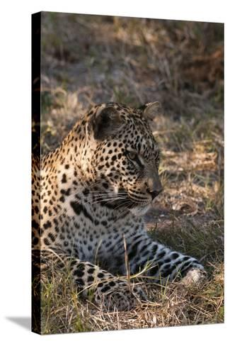 Portrait of a Leopard, Panthera Pardus, Resting-Sergio Pitamitz-Stretched Canvas Print