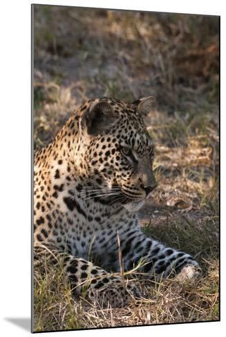 Portrait of a Leopard, Panthera Pardus, Resting-Sergio Pitamitz-Mounted Photographic Print