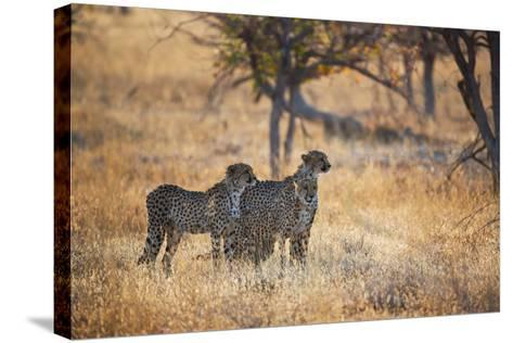 A Group of Cheetahs, Acinonyx Jubatus, on the Lookout for a Nearby Leopard at Sunset-Alex Saberi-Stretched Canvas Print