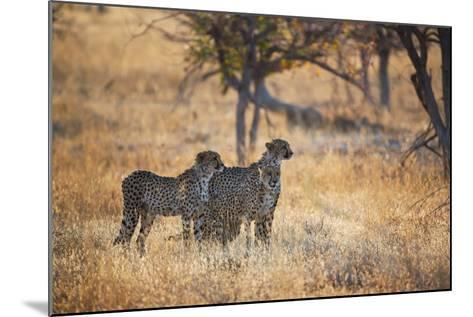 A Group of Cheetahs, Acinonyx Jubatus, on the Lookout for a Nearby Leopard at Sunset-Alex Saberi-Mounted Photographic Print