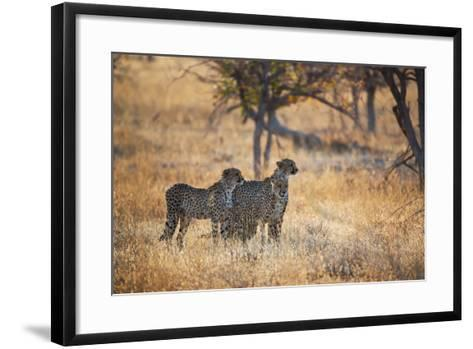 A Group of Cheetahs, Acinonyx Jubatus, on the Lookout for a Nearby Leopard at Sunset-Alex Saberi-Framed Art Print