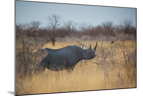 A Black Rhinoceros, Diceros Bicornis, Feeds Off a Spiny Acacia Bush at Sunset-Alex Saberi-Mounted Photographic Print