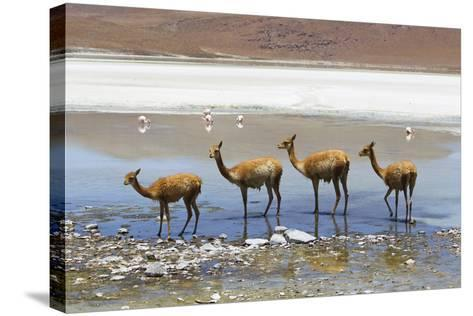 Vicunas Standing in a Row at a Lagoon-Mike Theiss-Stretched Canvas Print