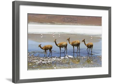 Vicunas Standing in a Row at a Lagoon-Mike Theiss-Framed Art Print