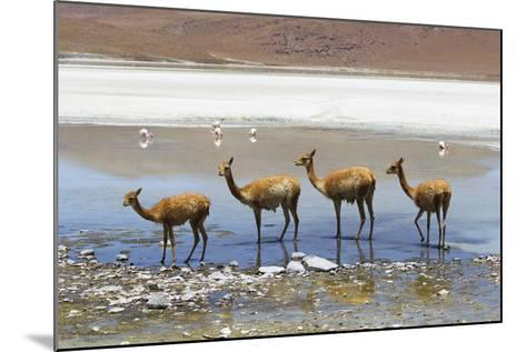 Vicunas Standing in a Row at a Lagoon-Mike Theiss-Mounted Photographic Print