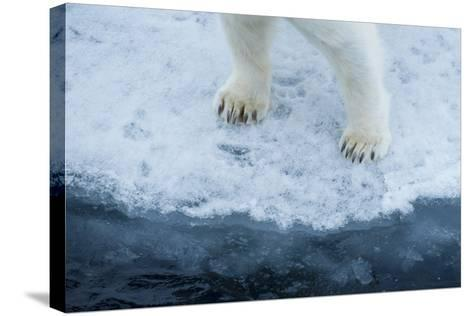 A Close Up of Polar Bear Front Feet and Legs, Standing on the Edge of Drift Ice-Michael Melford-Stretched Canvas Print